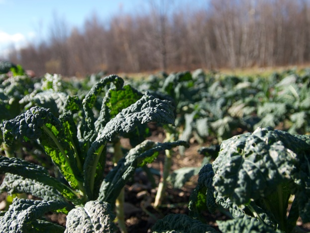 Les derniers plants de kale du champs