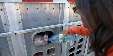 Animal rights activist Anita Krajnc gives water to a pig in a truck in a handout photo. On the eve of a court appearance, Krajnc is unapologetic about providing water to sweltering pigs in a truck on their way to the slaughterhouse on a hot day earlier this year.THE CANADIAN PRESS/HO-Elli Garlin